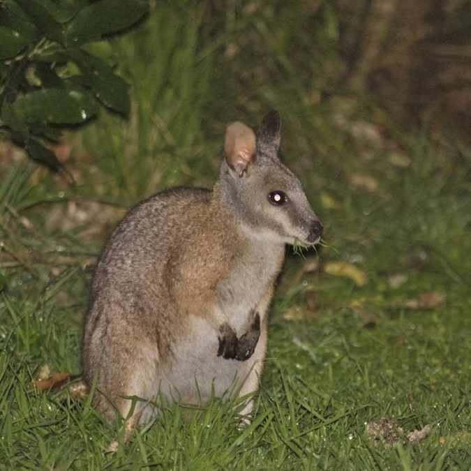 Wallaby.-wildlife-you-are-likely-to-see-at-night-1080x675
